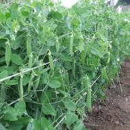 Kelvedon Wonder (100 gr) seminte de mazare de gradina, soi timpuriu, Agrosem