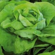 Lobela - 5000 sem  - Seminte drajate de salata cu capatana mare voluminoasa avand o buna capacitate de pastrare in camp si se preteaza cultivarii primavara vara si toamna de la Enza Zaden