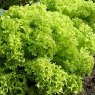 Lollo Bionda (2 gr) seminte de salata creata soi semitimpuriu, Opal