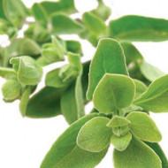 Maghiran (Maioran) Seminte de Maghiran Plante Aromatice de la Opal