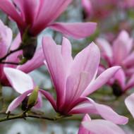 Magnolie Galaxy, arbore ornamental cu flori mari, parfumate, in nuante de purpuriu si roz, Yurta