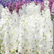 Mixandre albe (0.15 grame) seminte de flori parfumate albe, Agrosem
