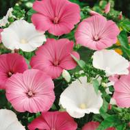 Nalba Lavatera trimestris mix (1 g), Seminte Flori Nalba, Planta Anuala de la Opal