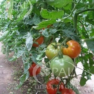 Naslada F1 - 1 gr – Seminte Tomate hibrid nedeterminat timpuriu Naslada F1 de la Opal Bulgaria