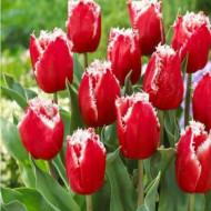 New Santa (8 bulbi), lalele rosii cu margini albe zimtate, bulbi de flori