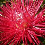 Ochiul boului Harz rosu (0,4g), seminte de ochiul boului cu flori mari, rosii, cu inflorire continua pana toamna, Agrosem