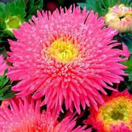 Ochiul boului Princess roz (0,4g), seminte de ochiul boului cu flori mari, deosebit de frumoase, roz, Agrosem