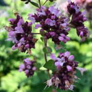 Oregano (0,25 g), seminte de Origanum vulgare, plante aromatice parfumate, Agrosem