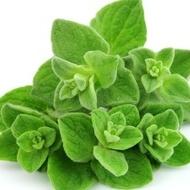 Oregano - Seminte Plante Medicinale Oregano de la Florian