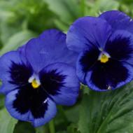 Panselute Ullswater (0.15 gr) seminte de panselute in diferite nuante de albastru, Horti Tops