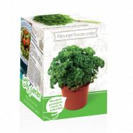Patrunjel frunze crete - Kit plante aromatice