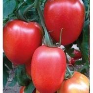 Peradur F1 - 500 sem - Seminte de rosii nedeterminate cu fructe ce cresc in ciorchine in numar de 6-8, au forma ovala iar greutatea lor ajungand la 130-150 de grame de la Yuksel