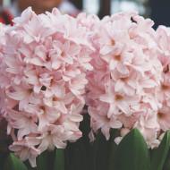 Pink Elephant (5 bulbi), zambile roz pal parfumate, bulbi de flori