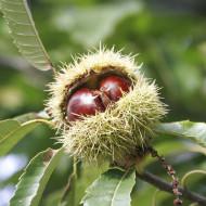 Puiet de castan comestibil, pom fructifer castan comestibil cu fructe bogate in substante nutritive si lemn de calitate superioara, Yurta