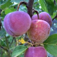 Puiet de prun Renclod Althan, pom fructifer prun soi cu fructe zemoase, tari, dulci-acrisoare, Yurta