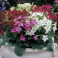 Regina noptii mix (0.2 grame) seminte de flori cu miros puternic placut, Agrosem