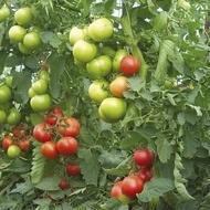 Rosii OPAL BG F1 - 0.3 gr - Seminte de tomate nedeterminate semitimpurii Gust excelent