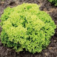 Salata Lollo Bionda (1 kg), seminte de salata creata soi timpuriu, Agrosem
