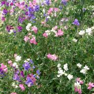 Sangele Voinicului curgatoare mix (2 g), seminte de flori divers colorate si cu parfum intens, Agrosem