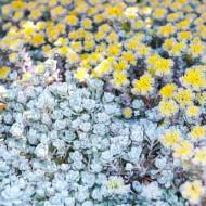 Sedum Cape Blanco (in ghiveci de 1 L), rasad de planta suculenta vesnic verde, cu frunze in nuante de alb-argintiu si flori galbene