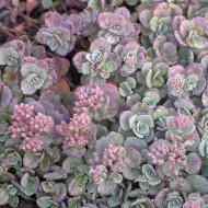 Sedum cauticola Lidakense (ghiveci 1 L), rasad planta suculenta vesnic verde, frunze verzi-argintii, flori roz