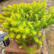 Sedum rupestre Angelina (ghiveci 1 L), planta suculenta vesnic verde, frunze ce isi schimba culoarea de la verde-galbui vara, la ruginiu iarna, iarba grasa