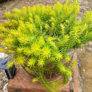 Sedum rupestre Angelina (ghiveci 1 L), rasad planta suculenta vesnic verde, frunze ce isi schimba culoarea de la verde-galbui vara, la ruginiu iarna