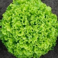 Sementel - 5000 sem - Seminte drajate si pregerminate de salata cu frunze foarte crocante de culoare verde inchis de la Bejo