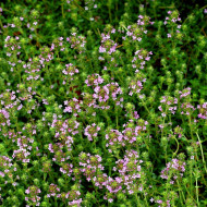 Seminte de Cimbru Thyme (1 kg), planta aromatica cimbru, Hortus Simenti