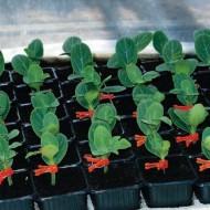 Seminte portaltoi pepene Beton F1( 100 seminte), Hektar