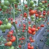 Seminte rosii Alfred F1 (250 seminte), nedeterminate, De Ruier Seeds