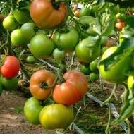 Seminte rosii HTP 11 F1 (500 seminte), tomate roz foarte gustoase, Hazera
