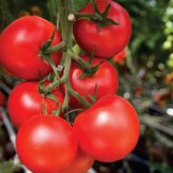 Seminte rosii Moldoveanu F1 (10 seminte), ciclu prelungit, Agrosel