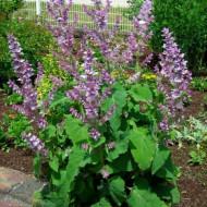 Serlai sau Iarba Sfantului Ion (0.4 grame) seminte planta bienala, miros intens placut, Agrosem