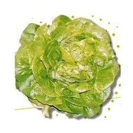 Shangore drajat - 5000 sem - Seminte de salata timpuriu capatani cu aspect placut recomandat culturi toamna iarna de la Syngenta