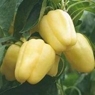 Simnic 7 - 50 gr - Seminte de ardei gras adaptabilitate ridicata la conditiile de mediu de la Mefim Agro