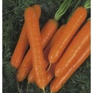 Sirkana F1 - 100.000 sem - Seminte de morcovi calibru 1.6- 1.8 de la Nunhems