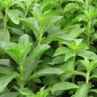 Stevie (Stevia) 25 seminte de Stevia rebaudiana, indulcitor natural, Opal