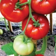 Tomate Fantastina F1 - 500 seminte de rosii nedeterminate timpurii Syngenta