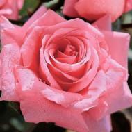 Trandafir Bel Ange (1 butas), trandafir roz, butasi de trandafiri