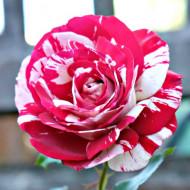 Trandafir Best Impression (1 butas in ghiveci 2 l) cu flori mari de culoare roz aprins, brazdate de dungi roz deschis, butasi de trandafiri Tantau