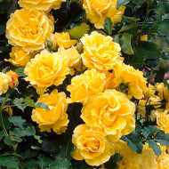 Trandafir catarator Golden Showers (1 butas in ghiveci 2 l), galben intens flori bogate, butasi de trandafiri