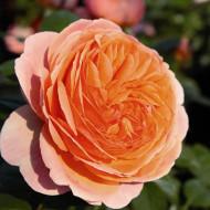 Trandafir Chippendale (1 butas in ghiveci 2 l) cu flori foarte parfumate, ce isi schimba culoarea de la portocaliu inchis la roz-piersica, butasi de trandafiri Tantau