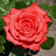 Trandafir Holstein (1 butas), rosu corai, parfum discret, butasi de trandafiri