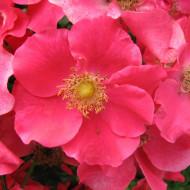 Trandafir Stadt Rom (1 butas in ghiveci 2 l) cu inflorire continua, flori de culoare roz-somon, butasi de trandafiri Tantau