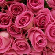 Trandafir Teahibrid Silvinetta (1 butas in ghiveci 2 l), roz deschis, cu marginea petalelor roz inchis, butasi de trandafiri