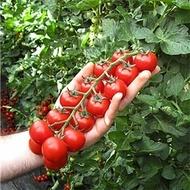Tudor F1 - 100 sem - Seminte de rosii cherry cu fructe sferice cantarind aproximativ 20-25 grame de culoare rosu intens de la Isi Sementi