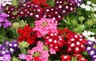 Urzicuta-Verbena - Seminte Flori Urzicuta Planta Anuala de la Florian