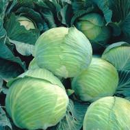 Varza de toamna Langedijker Dauer (4 gr), seminte de varza soi cu capatani rotunde, Agrosem