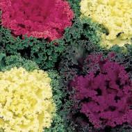 Varza ornamentala mix (130 seminte), planta decorativa, frunze rosii, albe, galbene, mov, Agrosem